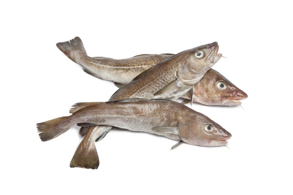 Icelandic cod fish