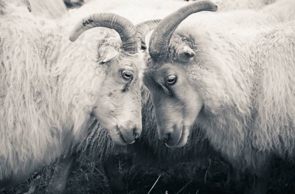 Two Icelandic sheep facing together